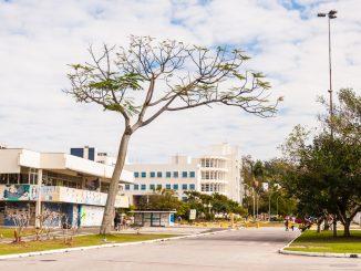 Árvore em frente ao Centro de Convivência da UFSC